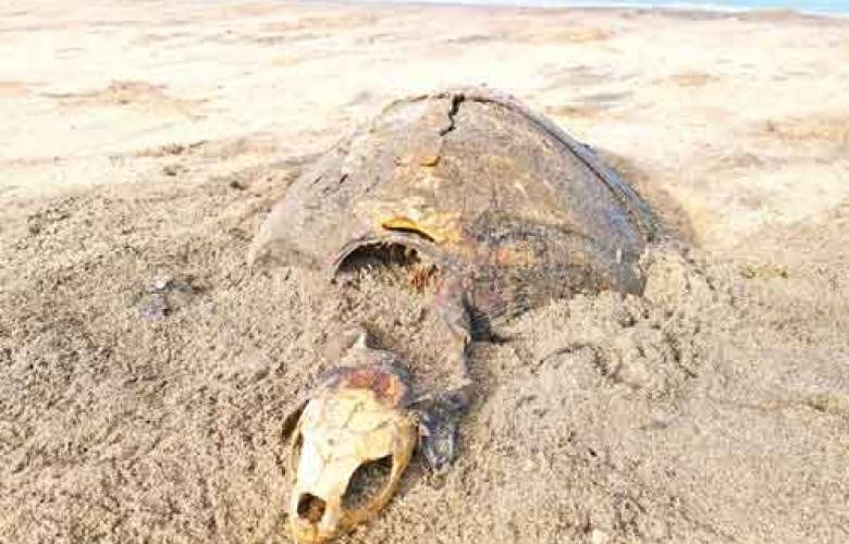 La lenta y preocupante extinción de la tortuga caguama